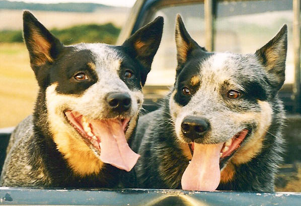 History Of The Breed Australian Cattle Dog Society Of Great Britain