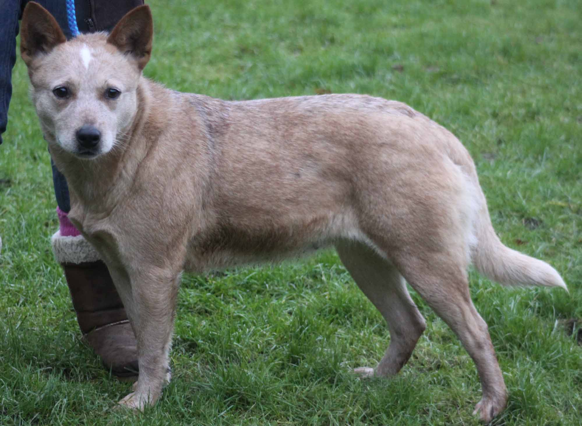 Rescue australian cattle dog society of great britain