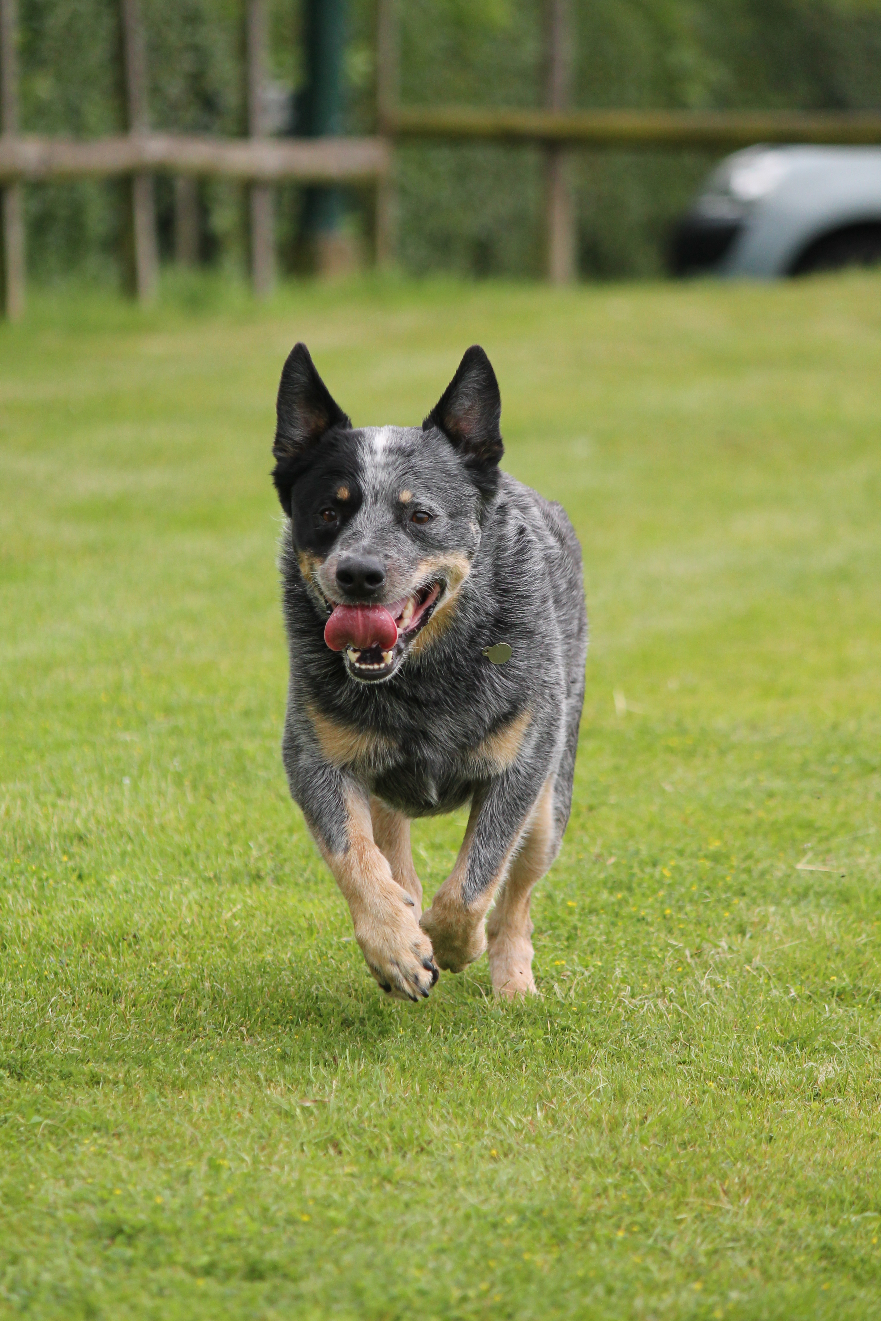 Australian Cattle Dog Society Of Great Britain