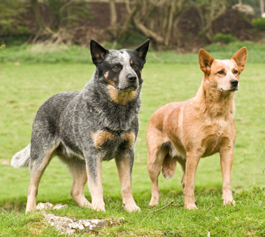 Breed Characteristics Australian Cattle Dog Society Of Great Britain